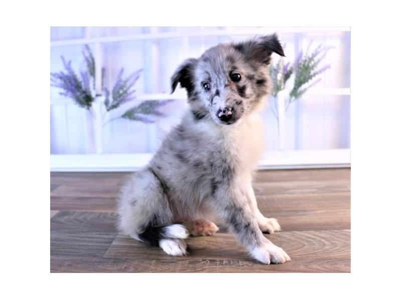 Shetland Sheepdog-Female-Blue Merle-2472886-Petland Naperville