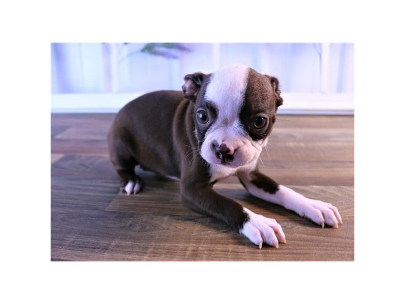 Boston Terrier-Female-Seal / White-2472901-Petland Naperville