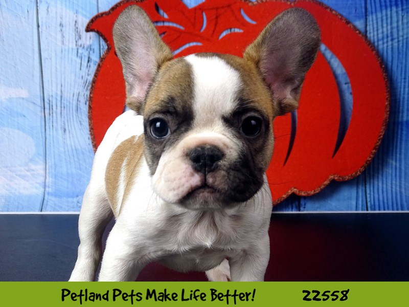 French Bulldog-Male-Tri Color-2478042-Petland Naperville