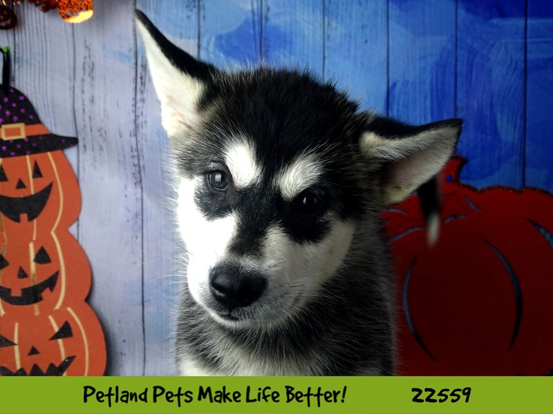 Alaskan Malamute-Female-Black and White-2478114-Petland Naperville