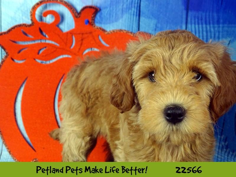 F1B Mini Goldendoodle-DOG-Female-Apricot-2478506-Petland Naperville
