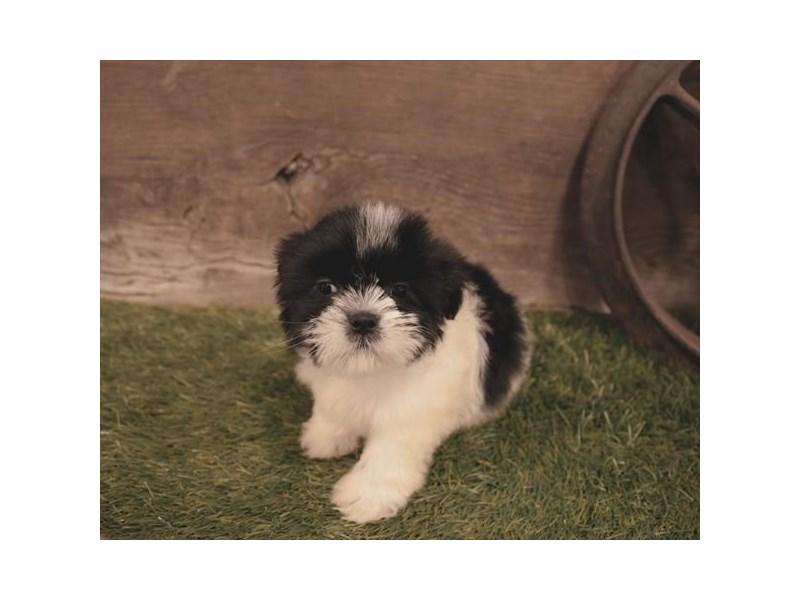 Shih Tzu-DOG-Male-Black / White-2479573-Petland Naperville