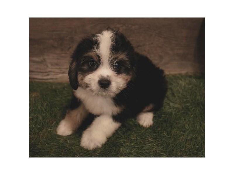 Aussiedoodle Mini-DOG-Female-Black Tan / White-2479585-Petland Naperville