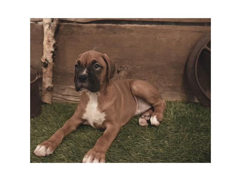Boxer-Female-Fawn-2479587-Petland Naperville