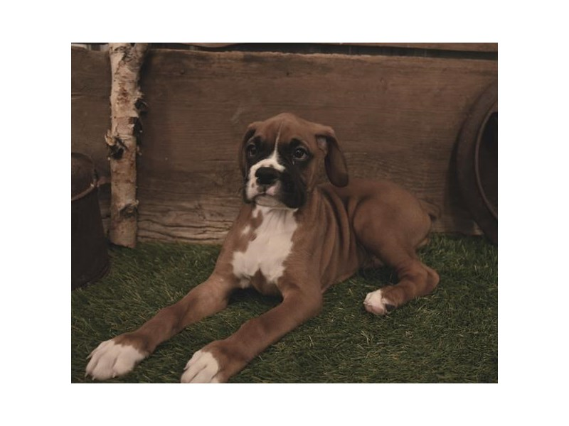 Boxer-Male-Fawn-2479589-Petland Naperville