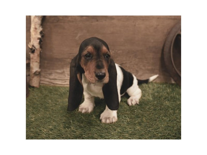 Basset Hound-Female-Black White / Tan-2479604-Petland Naperville