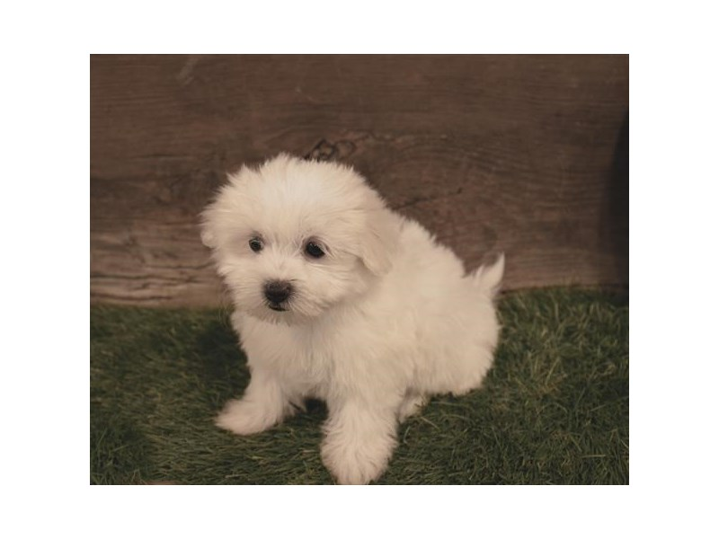 Maltese-Female-White-2479607-Petland Naperville