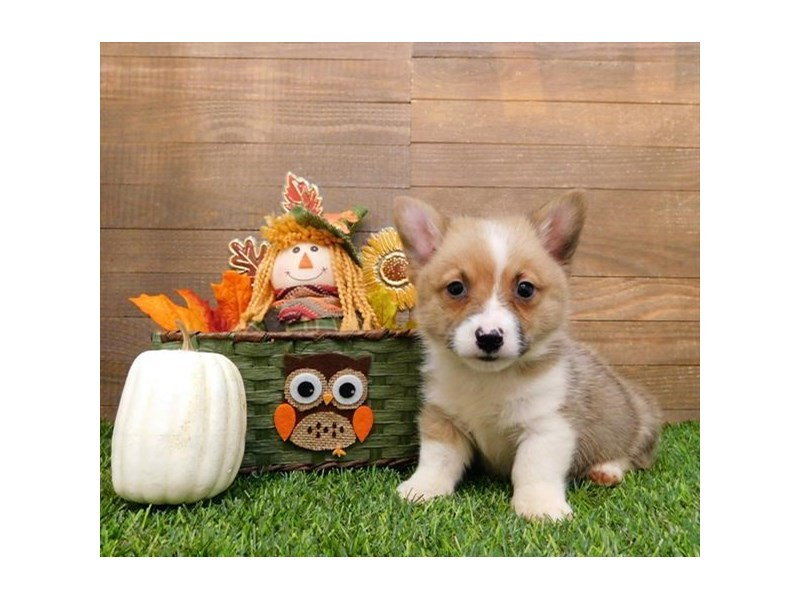 Pembroke Welsh Corgi-Male-Sable / White-2498547-Petland Naperville