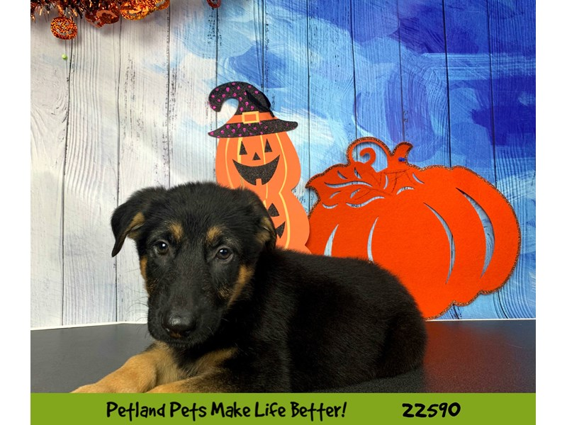 German Shepherd-Male-Black and Tan-2498504-Petland Naperville