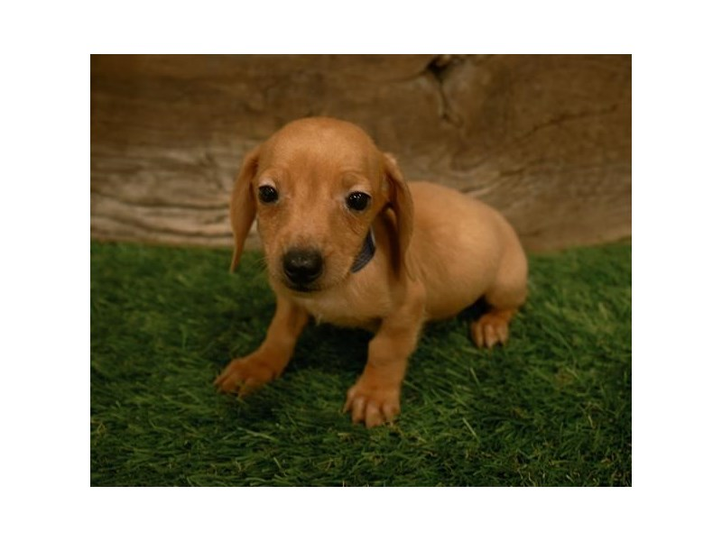Dachshund-Male-Red-2500441-Petland Naperville