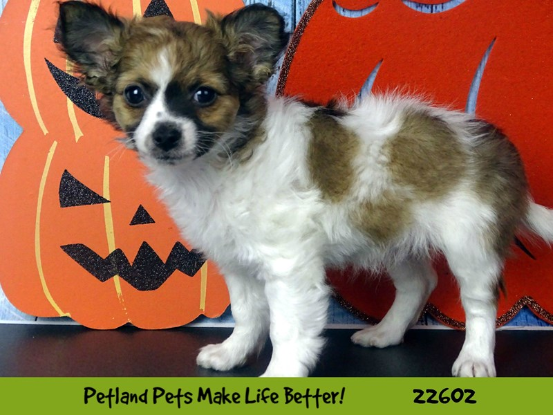 Chihuahua-Female-Fawn-2500315-Petland Naperville