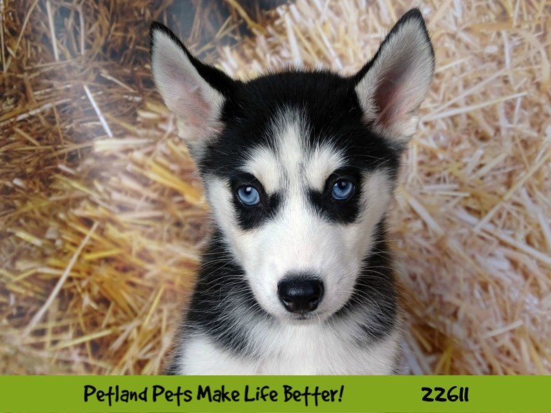 Siberian Husky-DOG-Female-Black and White-2504851-Petland Naperville