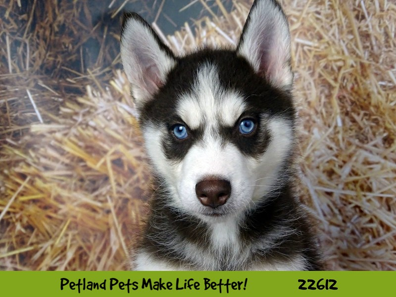 Siberian Husky-Male-Red and White-2504866-Petland Naperville