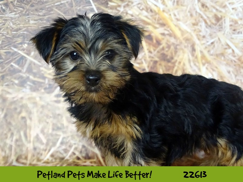Yorkshire Terrier-Female-Black and Tan-2504916-Petland Naperville