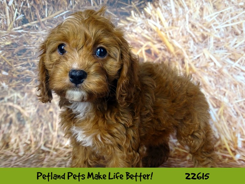 Poodle-Female-Red-2504993-Petland Naperville