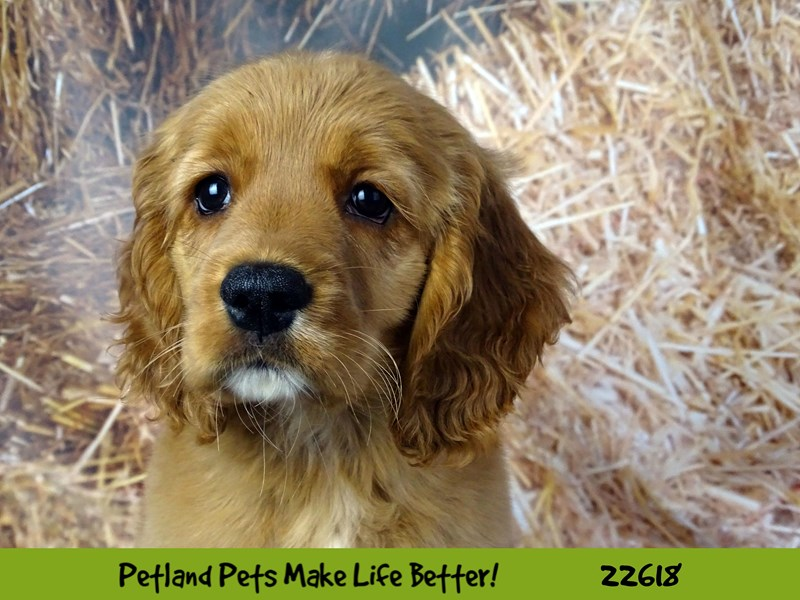 Comfort Golden-Female-Red-2505168-Petland Naperville