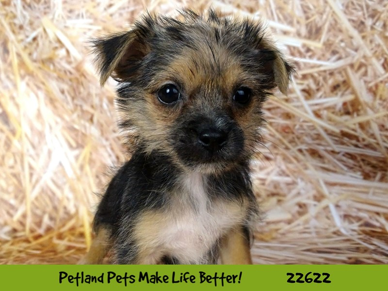 Morkie-Female-Black and Tan-2505281-Petland Naperville