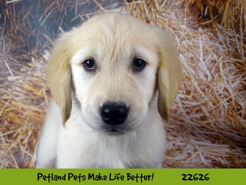 Golden Retriever-Male-Golden-2505375-Petland Naperville