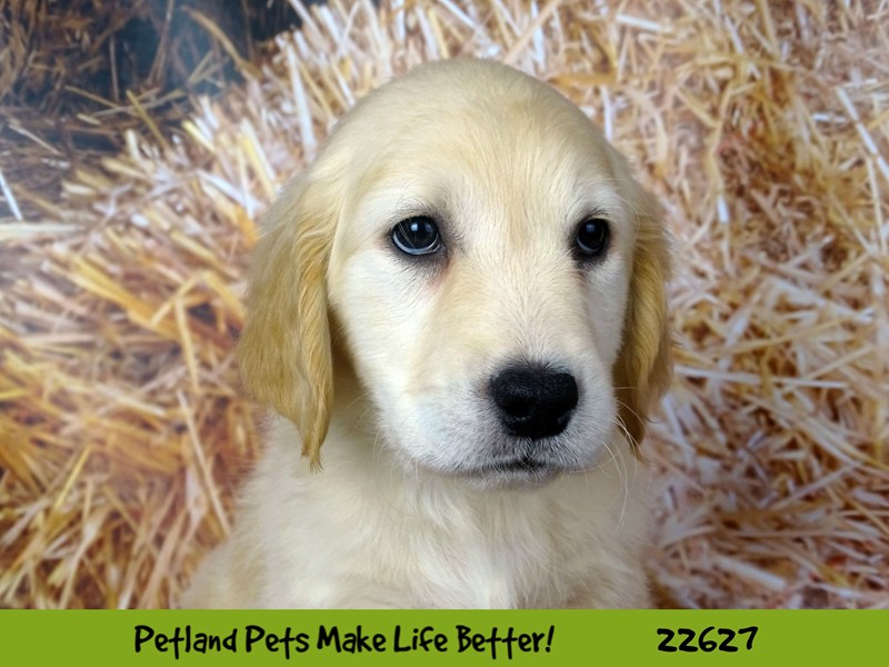 Golden Retriever-Female-Golden-2505399-Petland Naperville