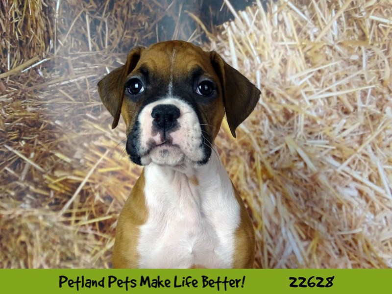 Boxer-Male-Fawn and White-2505431-Petland Naperville
