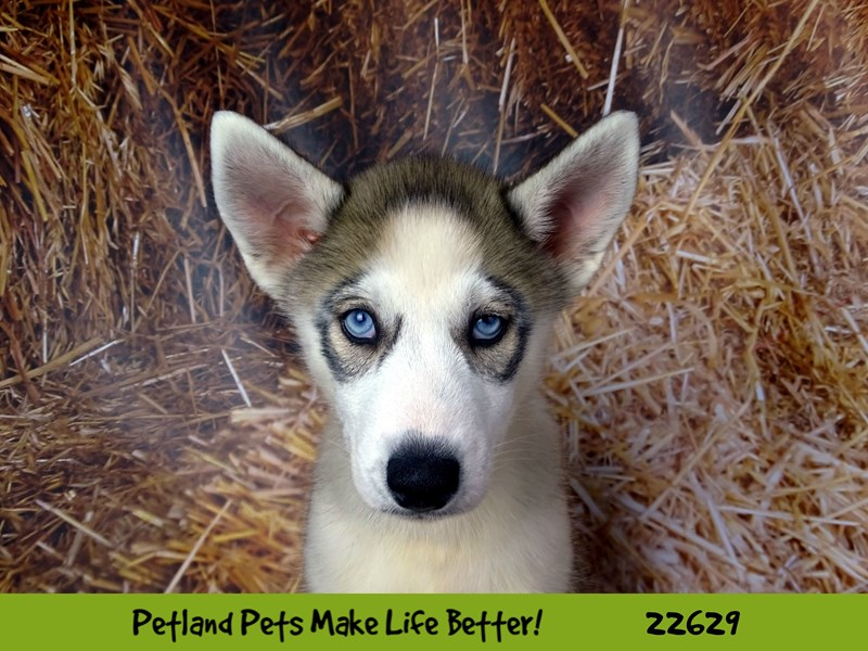 Siberian Husky-Male-Grey and White-2505443-Petland Naperville