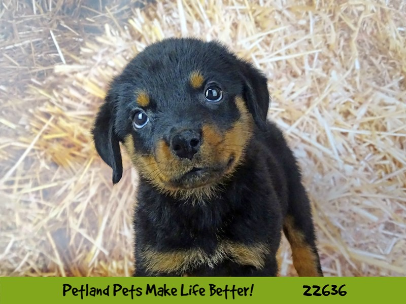 Rottweiler-Female-Black and Tan-2511964-Petland Naperville
