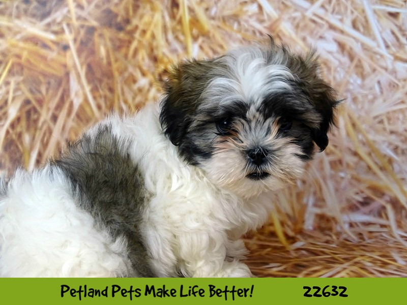 Malshi-Female-Sable/White-2511472-Petland Naperville