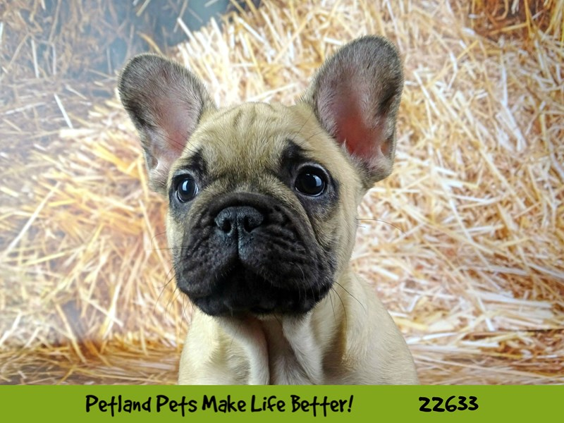 French Bulldog-Male-Fawn-2511772-Petland Naperville