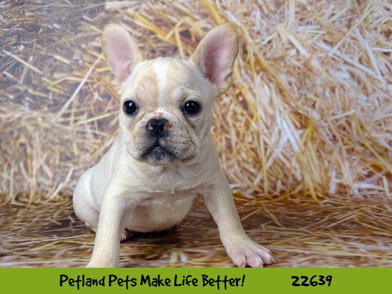 French Bulldog-Female-Cream-2512065-Petland Naperville