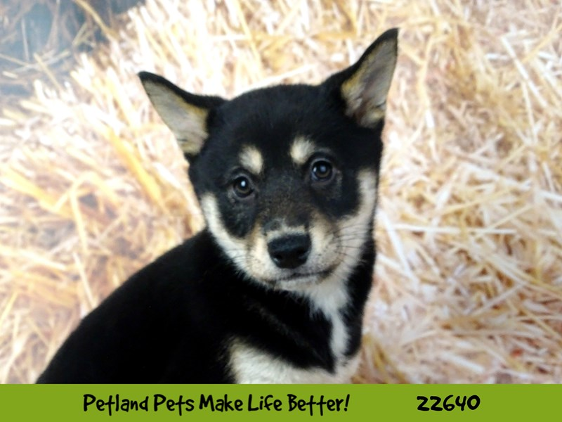 Shiba Inu-Female-Black and Tan-2512078-Petland Naperville