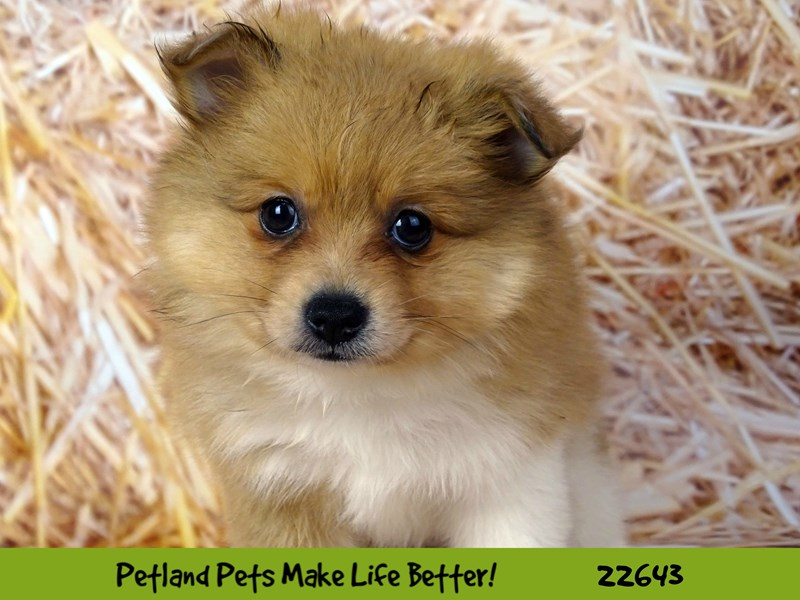 Pomeranian-Female-Orange Sable-2513362-Petland Naperville