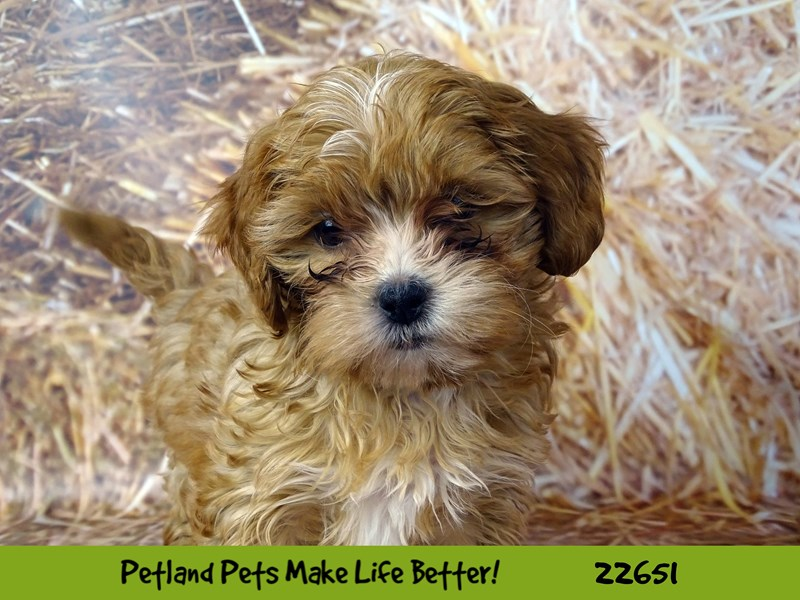 Shihpoo-Female-Brown and White-2518743-Petland Naperville