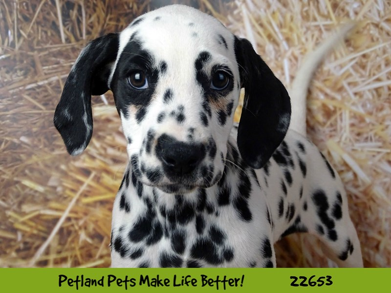 Dalmatian-Female-Black and white-2518810-Petland Naperville
