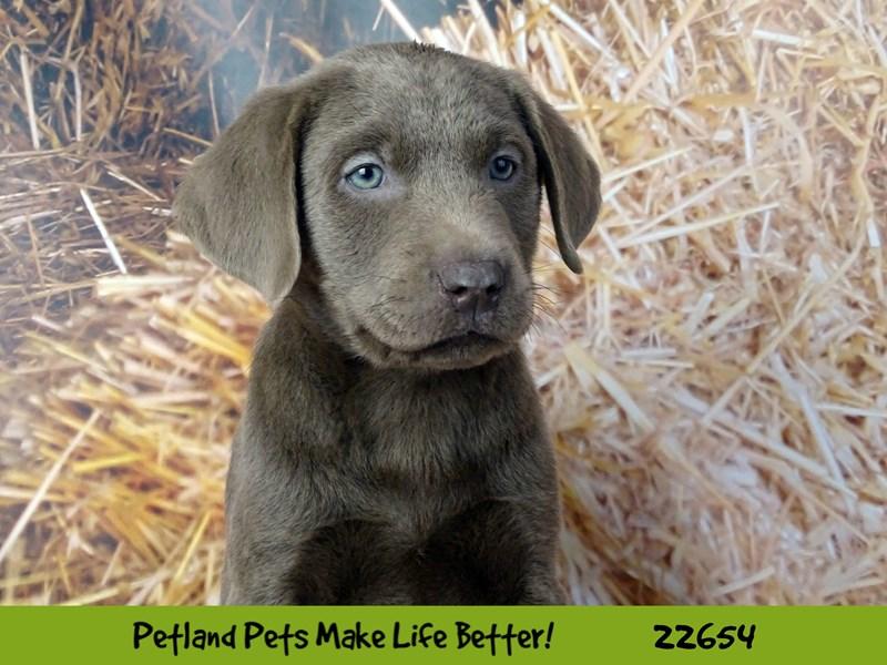 Labrador Retriever-Male-Silver-2518857-Petland Naperville