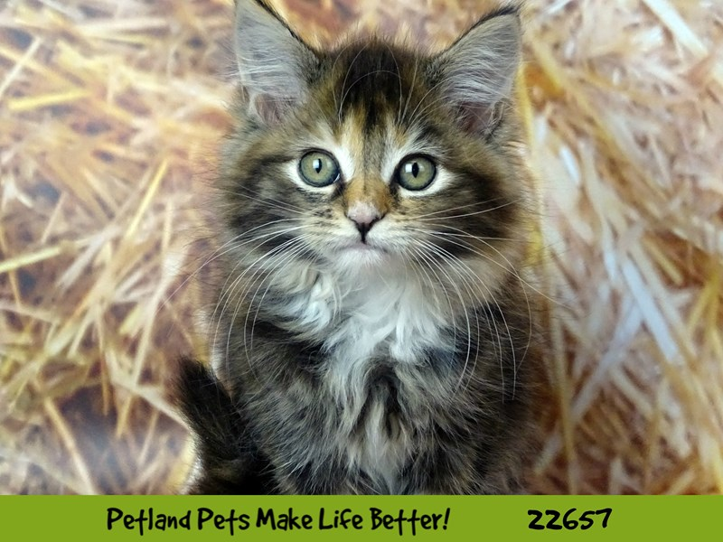 Maine Coon-Female-Brown Patch Makerel Tabby White-2519022-Petland Naperville