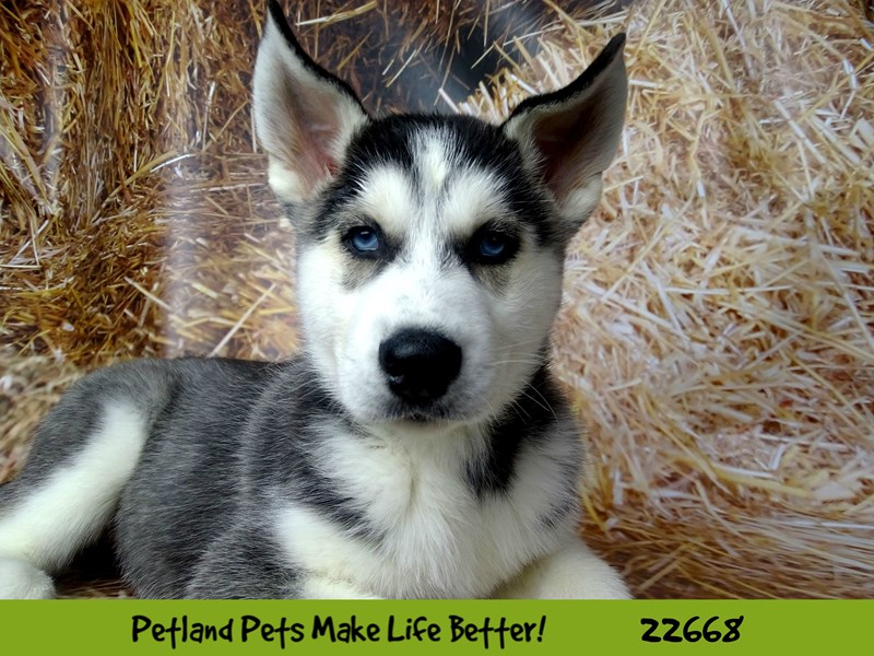 Siberian Husky-Male-Black and White-2525216-Petland Naperville