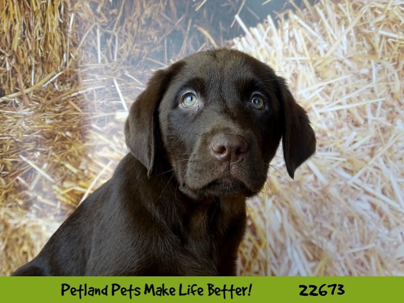 Labrador Retriever-Male-Chocolate-2525496-Petland Naperville