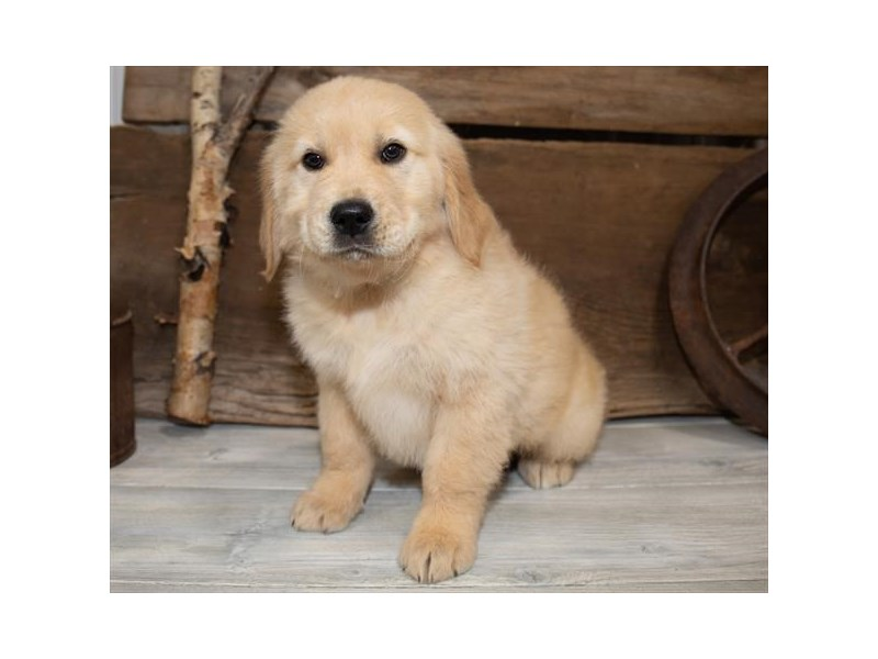 Golden Retriever-Male-Golden-2534256-Petland Naperville