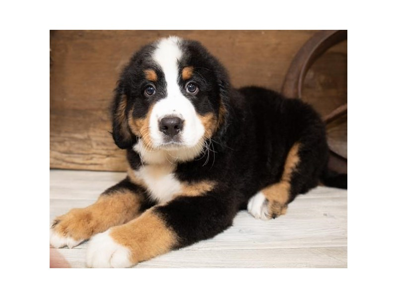 Bernese Mountain Dog-Female-Black White / Tan-2534261-Petland Naperville