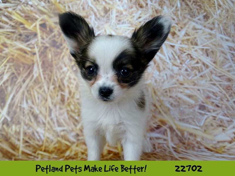 Papillon-Female-Sable / White-2534257-Petland Naperville