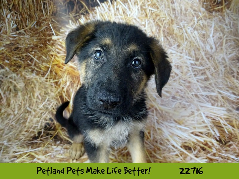 German Shepherd-Male-Black and Tan-2539214-Petland Naperville