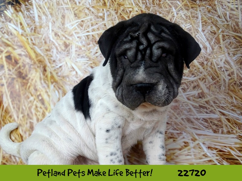 Mini Walrus-Male-Black and White-2539350-Petland Naperville