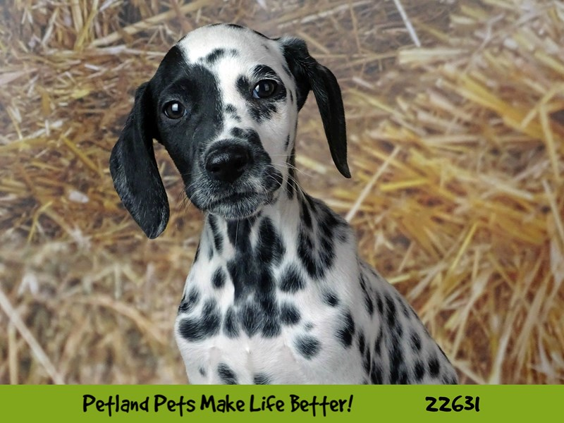 Dalmatian-Male-Black and White-2511426-Petland Naperville