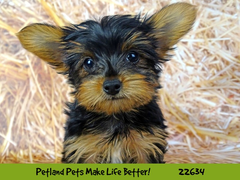 Yorkshire Terrier-Male-Black and Tan-2511865-Petland Naperville