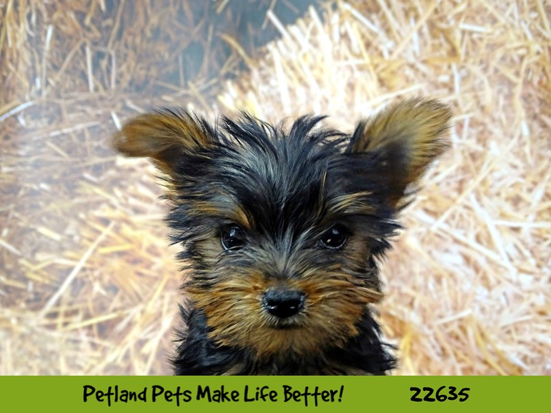 Yorkshire Terrier-Female-Black and Tan-2511897-Petland Naperville