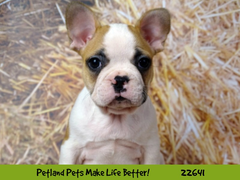 French Bulldog-Male-Brown and White-2512090-Petland Naperville
