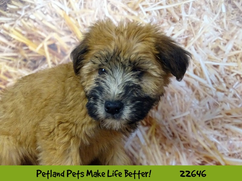 Soft Coated Wheaten Terrier-Female-Wheaten-2518454-Petland Naperville