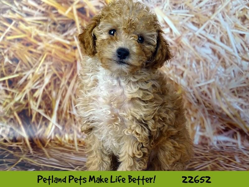 Poodle-Female-Apricot-2518750-Petland Naperville