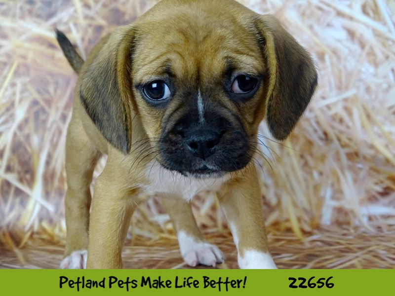 Puggle-Female-Apricot-2518914-Petland Naperville