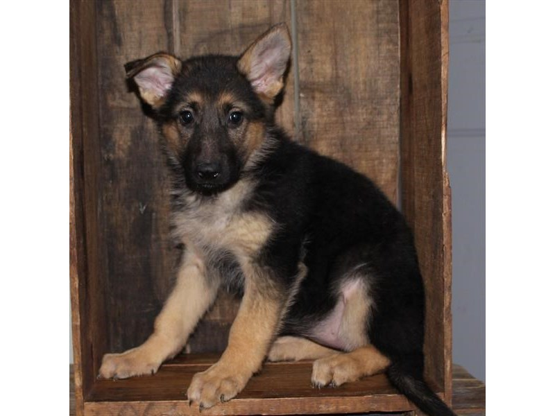 German Shepherd Dog-Female-Black / Tan-2519947-Petland Naperville